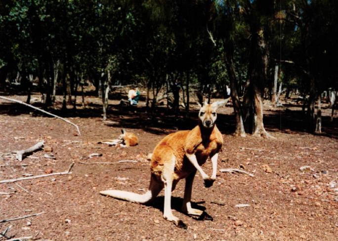 Obrázek 14: Klokan - symbol Austrálie