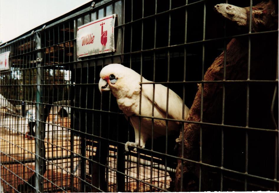 Obrázek 16: Ukecaný papoušek Willie; jsme stejně mladí
